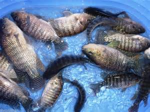 Have you called in your Tilapia and Grass Carp order?